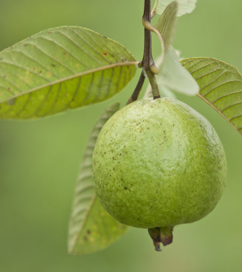 How Guava Leaves Can Increase Sperm Count – Snowballs Underwear