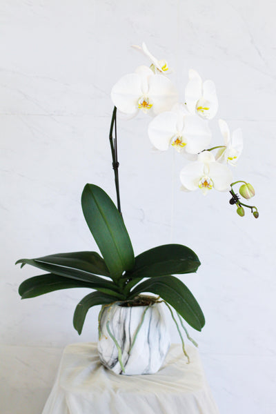 White Phalaenopsis Orchid In Pot