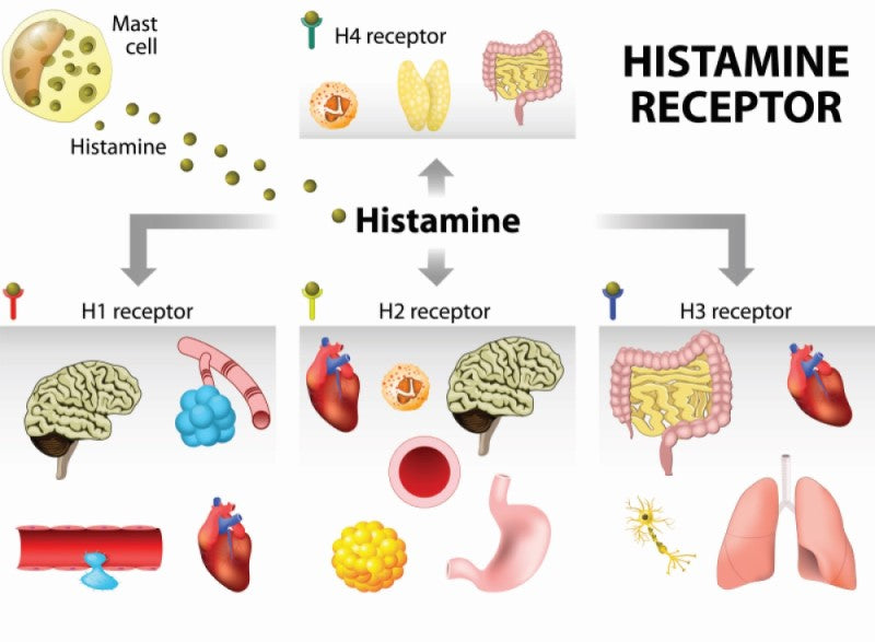 diagram of histamine receptors involved in allergic reaction to alcohol