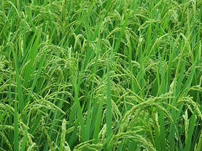 rice cultivation is said to be a cause of ALDH2 deficiency