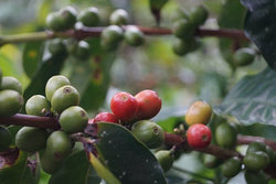 Organic Mexico 'Altura Tollan' Coffee - My Shop Coffee
