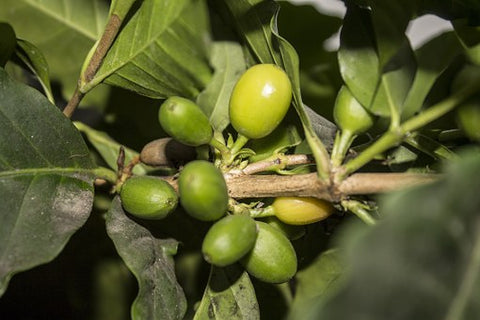 Organic Peru 'Andes Gold' Coffee - My Shop Coffee