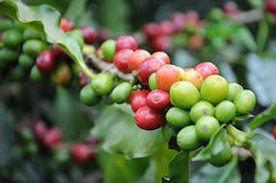 Organic Dominican Republic `Santo Domingo` Coffee - My Shop Coffee