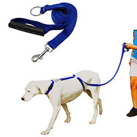 White dog on white background with blue leash