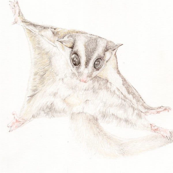 Finn the Sugar Glider