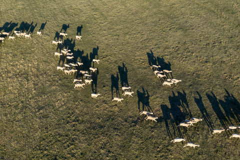 A photo of a flock of sheep from above. They are beautiful creatures! Image from GRIP6.