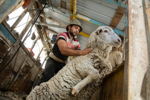A sheep being sheared. Image from GRIP6.