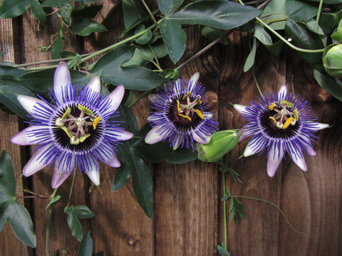 Passiflora Damsel's Delight, Passion Flowers - Brushwood Nursery, Clematis Specialists