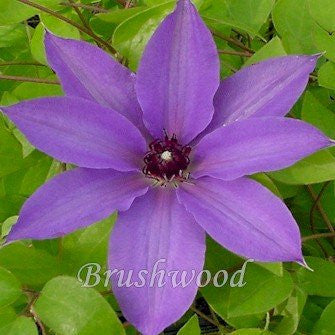 Clematis Blue Ravine, Large Flowered Clematis - Brushwood Nursery, Clematis Specialists