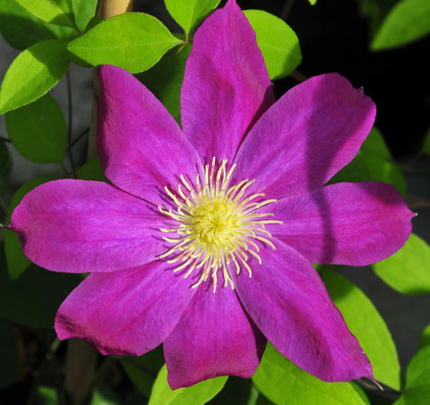 Clematis Fireflame, Large Flowered Clematis - Brushwood Nursery, Clematis Specialists