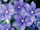 Clematis Lady Northcliffe, Large Flowered Clematis - Brushwood Nursery, Clematis Specialists