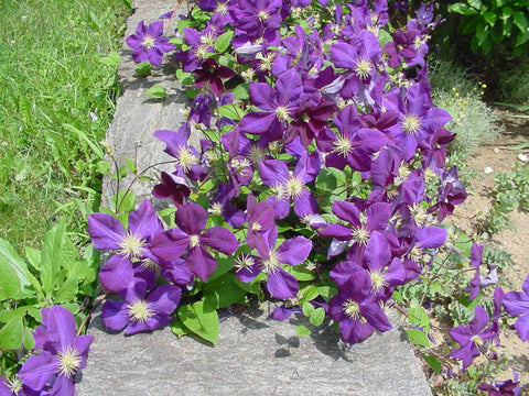 Clematis Jackmanii, Large Flowered Clematis - Brushwood Nursery, Clematis Specialists
