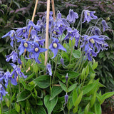 Clematis integrifolia Blue Ribbons, Non-Vining Clematis - Brushwood Nursery, Clematis Specialists