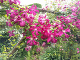 Clematis Madame Julia Correvon, Small Flowered Clematis - Brushwood Nursery, Clematis Specialists