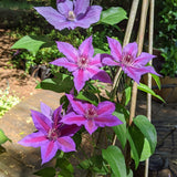 Clematis Edda, Large Flowered Clematis - Brushwood Nursery, Clematis Specialists