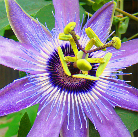 Passiflora Betty Myles Young, Passion Flowers - Brushwood Nursery, Clematis Specialists