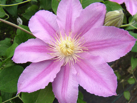 Clematis Abilene, Large Flowered Clematis - Brushwood Nursery, Clematis Specialists