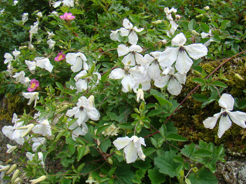 Clematis Alba Luxurians, Small Flowered Clematis - Brushwood Nursery, Clematis Specialists