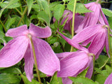 Clematis alpina Constance, Small Flowered Clematis - Brushwood Nursery, Clematis Specialists