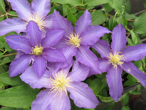 Clematis Anna German, Large Flowered Clematis - Brushwood Nursery, Clematis Specialists