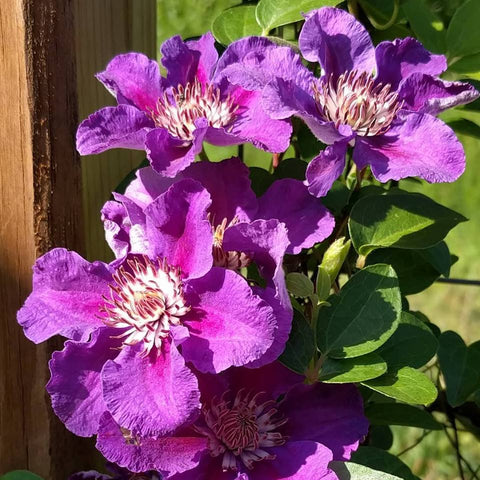 Clematis Ashva, Small Flowered Clematis - Brushwood Nursery, Clematis Specialists