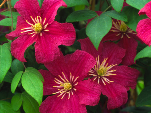 Clematis Barbara Harrington, Large Flowered Clematis - Brushwood Nursery, Clematis Specialists