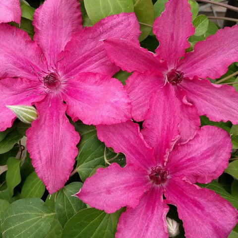 Clematis Barbara, Large Flowered Clematis - Brushwood Nursery, Clematis Specialists
