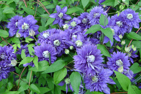 Clematis Belle of Taranaki, Large Flowered Clematis - Brushwood Nursery, Clematis Specialists