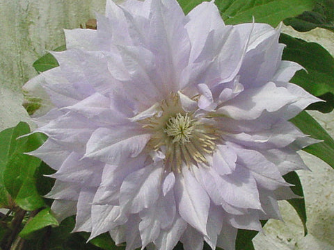 Clematis Belle of Woking, Large Flowered Clematis - Brushwood Nursery, Clematis Specialists