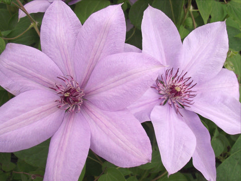 Clematis Bernadine, Large Flowered Clematis - Brushwood Nursery, Clematis Specialists