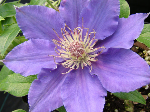 Clematis Bijou, Large Flowered Clematis - Brushwood Nursery, Clematis Specialists