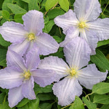 Clematis Blue Angel, Small Flowered Clematis - Brushwood Nursery, Clematis Specialists