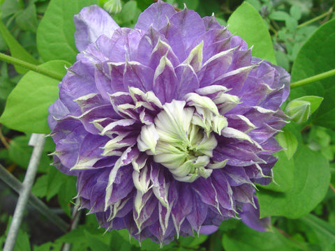 Clematis Blue Light, Large Flowered Clematis - Brushwood Nursery, Clematis Specialists