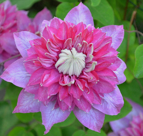Clematis Blushing Bridesmaid, Large Flowered Clematis - Brushwood Nursery, Clematis Specialists