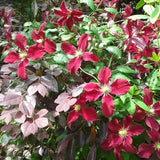 Clematis Burning Love, Small Flowered Clematis - Brushwood Nursery, Clematis Specialists