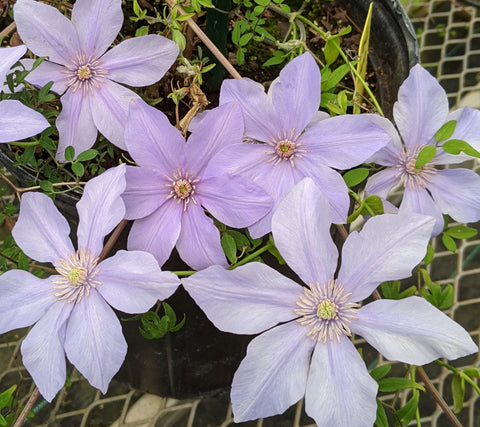 Clematis cadmina, Small Flowered Clematis - Brushwood Nursery, Clematis Specialists