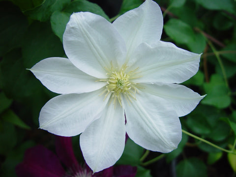 Clematis Candida, Large Flowered Clematis - Brushwood Nursery, Clematis Specialists