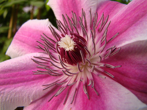 Clematis Carnaby, Large Flowered Clematis - Brushwood Nursery, Clematis Specialists