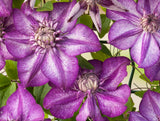 Clematis Cassis, Large Flowered Clematis - Brushwood Nursery, Clematis Specialists