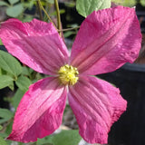 Clematis Charlie Brown, Small Flowered Clematis - Brushwood Nursery, Clematis Specialists