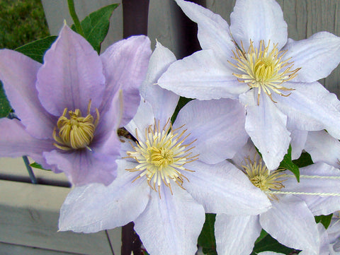 Clematis Chelsea, Large Flowered Clematis - Brushwood Nursery, Clematis Specialists