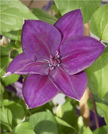 Clematis Chie, Large Flowered Clematis - Brushwood Nursery, Clematis Specialists