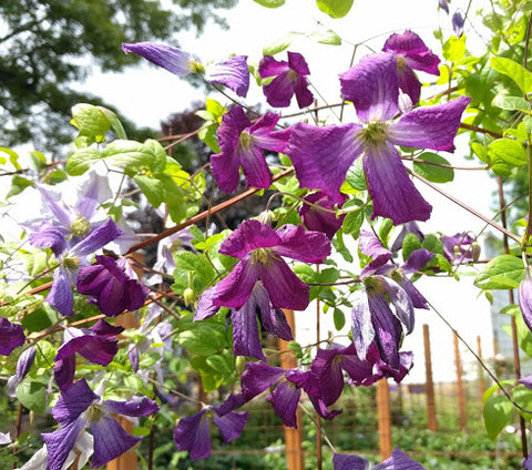 Clematis Cornish Spirit, Small Flowered Clematis - Brushwood Nursery, Clematis Specialists