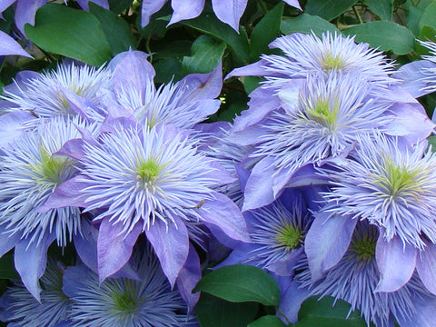 Clematis Crystal Fountain, Large Flowered Clematis - Brushwood Nursery, Clematis Specialists