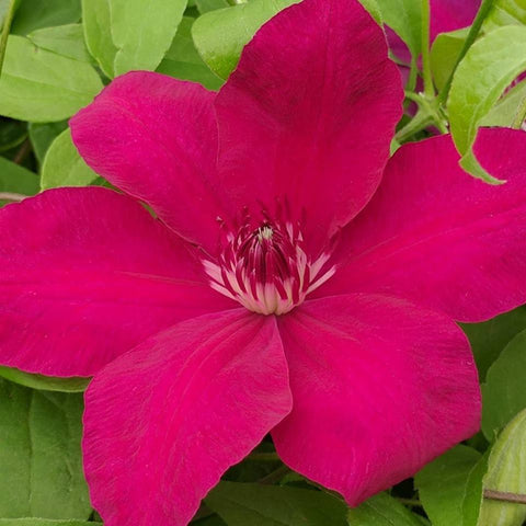 Clematis Daiyu, Large Flowered Clematis - Brushwood Nursery, Clematis Specialists