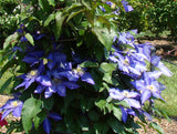 Clematis Daniel Deronda, Large Flowered Clematis - Brushwood Nursery, Clematis Specialists