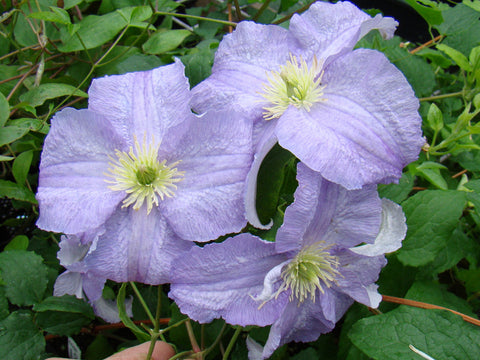 Clematis Dominika, Large Flowered Clematis - Brushwood Nursery, Clematis Specialists