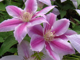 Clematis Dr Ruppel, Large Flowered Clematis - Brushwood Nursery, Clematis Specialists