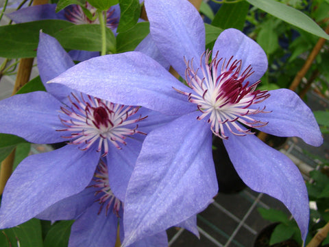 Clematis Dubysa, Large Flowered Clematis - Brushwood Nursery, Clematis Specialists