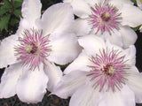 Clematis Fair Rosamond, Large Flowered Clematis - Brushwood Nursery, Clematis Specialists